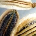 anethum-seed