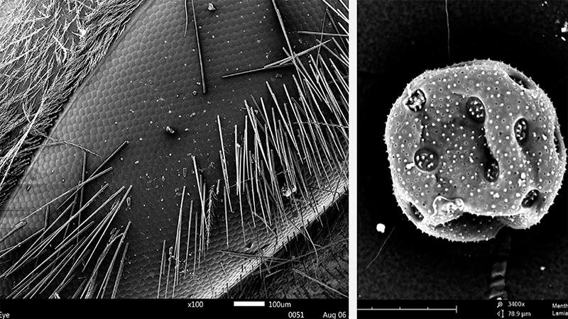 apis mellifera eye, mentha pollen