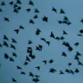 birds-flock
